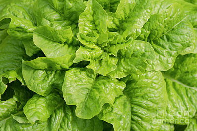 Photograph - Lettuce, Lactuca Sativa, Growing by Perry Van Munster