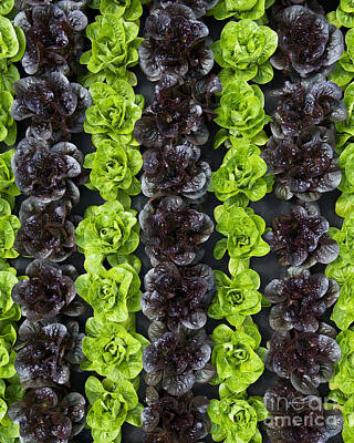 Lettuce Rows Art Print by Tim Gainey