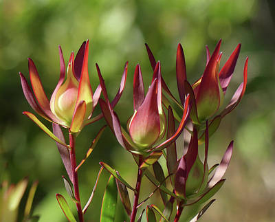 Photograph - Leucadendron Safari Sunset by Margaret Saheed