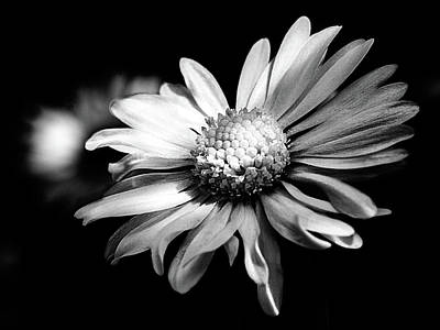 Photograph - Leucanthemum Adustum by Giovanni Bertagna