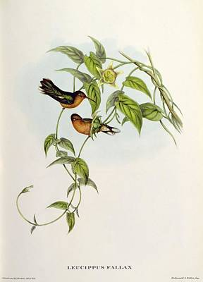 Honey Painting - Leucippus Fallax by John Gould