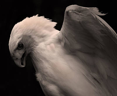 Red Tail Hawks Photograph - Leucistic Albino Red-tailed Hawk by Brian M Lumley