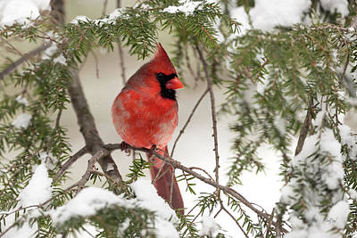 Male Northern Cardinal Photograph - Leucistic Northern Cardinal by Everet Regal