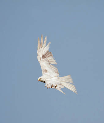 Photograph - Leucistic Red Kite by Peter Walkden