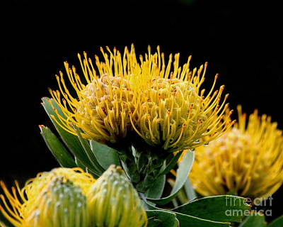 Photograph - Leucospermum Veldfire Flower by Wingsdomain Art and Photography