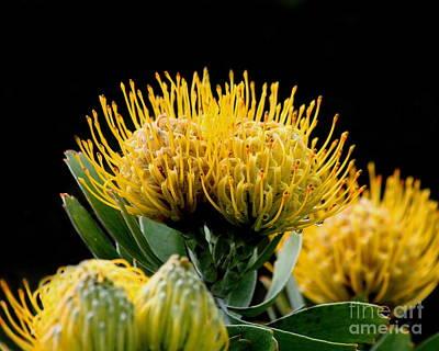 Photograph - Leucospermum Veldfire Flower by Wingsdomain Art and Photography