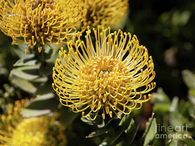 Photograph - Leucospermum Veldfire Pincushion Flower 5d3195 by Wingsdomain Art and Photography