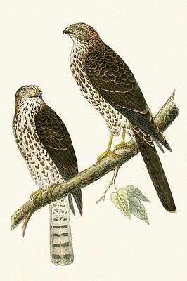Birds Of Prey Drawing - Levant Sparrow Hawk by English School