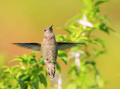 Photograph - Levitating Hummingbird by Loree Johnson