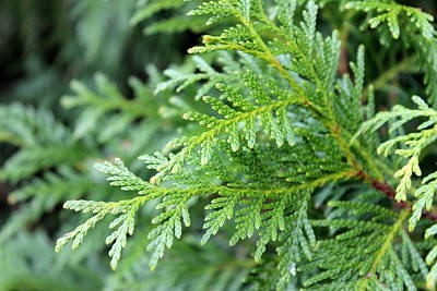 Photograph - Leyland Cypress by Beth Vincent