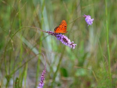 Photograph - Liatris And The Gulf Fritillary by rd Erickson