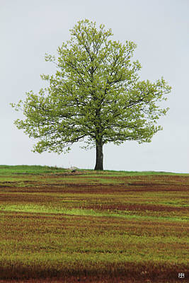 Photograph - Liberty Tree In Spring by John Meader
