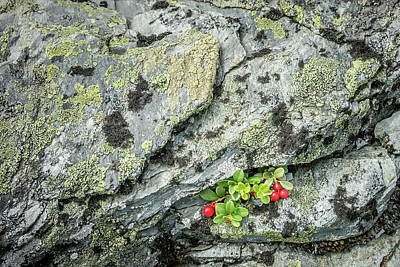 Photograph - Lichen And Lingonberry by Alexander Kunz