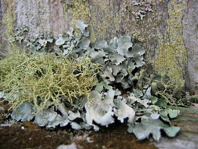 Photograph - Lichen And Old Fence #2 by Dreamweaver Gallery