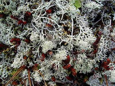 Photograph - Lichen Mix Hatcher Pass by Ron Bissett