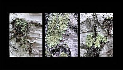 Photograph - Lichen On Birch Triptych by Patricia E Sundik