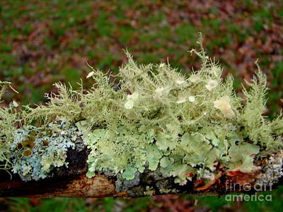 Photograph - Lichen The Woods by Lew Davis