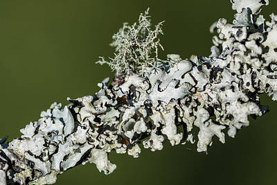 Photograph - Lichens On A Limb by Robert Potts