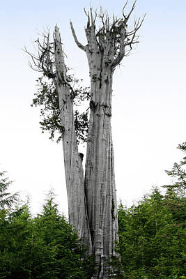 Bleached Tree Photograph - Life At The Top - Duncan Cedar Olympic National Park Wa by Christine Till