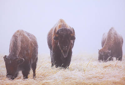 Bison Photograph - Life Must Go On by Kadek Susanto