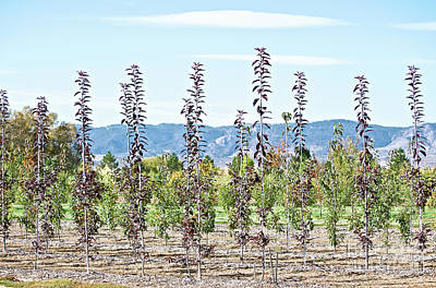 Life On A Tree Farm-foothills View #1 Art Print
