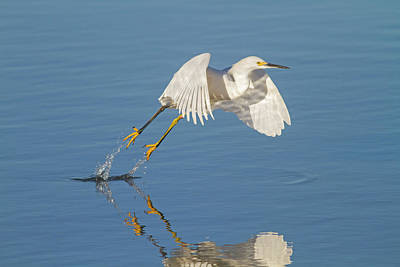 Photograph - Lift Off- Snowy Egret by Mark Miller