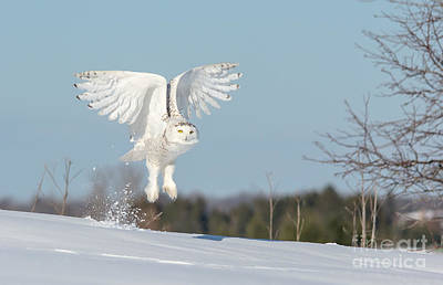 Photograph - Lift Off Snowy Owl by Cheryl Baxter