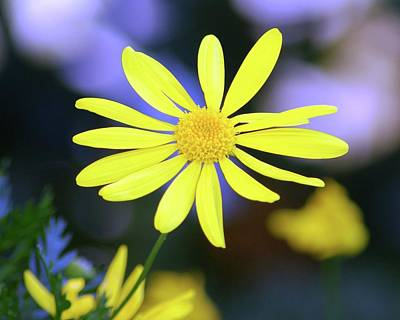 Photograph - Lifted Yellow Flower by Matt Harang