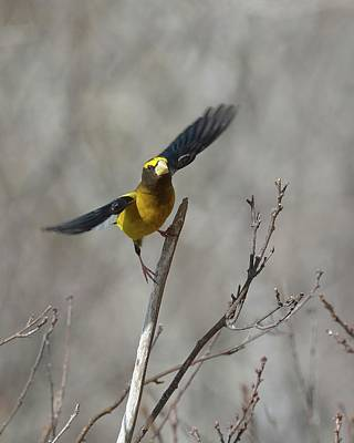 Photograph - Liftoff-male Evening Grosbeak by David Porteus