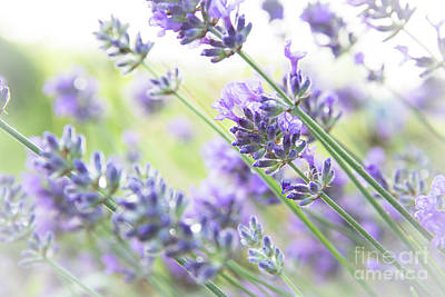 Ollivrosa Wall Art - Photograph - Light And Airy Lavender by Amy Sorvillo