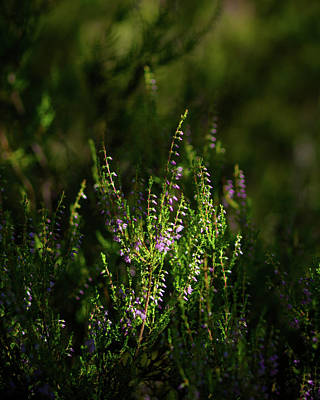 Photograph - Light And Shadows On Common Heathers by Ismo Raisanen