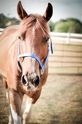 Photograph - Light Brown Horse Named Flash by Kelly Hazel