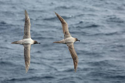 Photograph - Light-mantled Albatross Duo by Bruce J Robinson