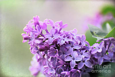 Photograph - Light On The Lilacs by Kerri Farley