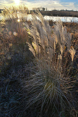 Photograph - Light Peaks Through Pampas Grass At Lakewood by Ray Mathis