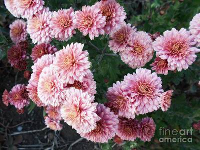 Photograph - Light Pink Chrysanthemums by Erika H