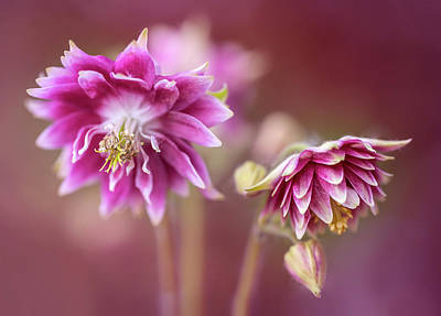 Photograph - Light Pink Columbine Flowers by Jaroslaw Blaminsky