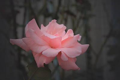 Photograph - Light Pink Rose by Kathleen Sartoris