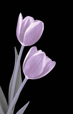 Photograph - Light Pink Tulips by Johanna Hurmerinta