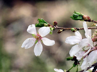 Photograph - Light Pink Weeping Cherry Blossom by Janice Drew