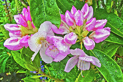 Photograph - Light Pink Western Azalea At  Seaside Rv Resort At Oregon by Ruth Hager