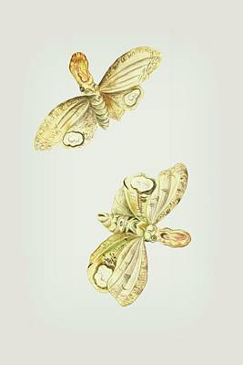 Mixed Media - Light Producing Moth Called Lantern Bearer Cornelis Markee 1763 by Cornelis Markee