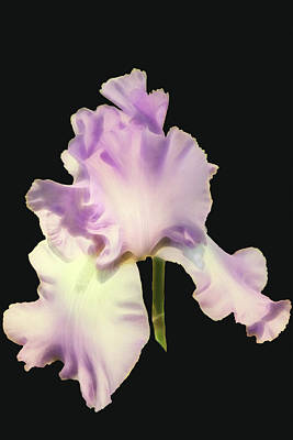 Photograph - Light Purple Iris by Mike Stephens