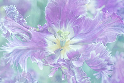 Photograph - Light Purple Mysterious Parrot Tulip by Jenny Rainbow