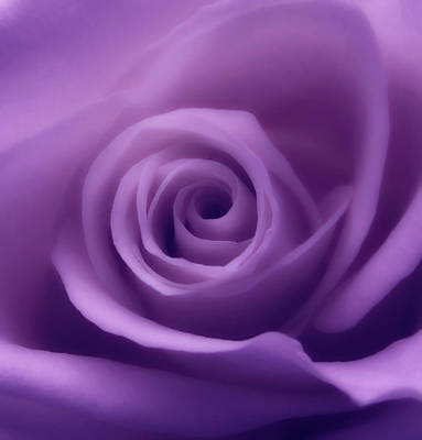 Photograph - Light Purple Rose Macro by Johanna Hurmerinta