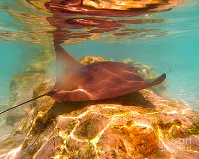 Soap Suds - Light Ray - Stingray Swimming by Jason Freedman