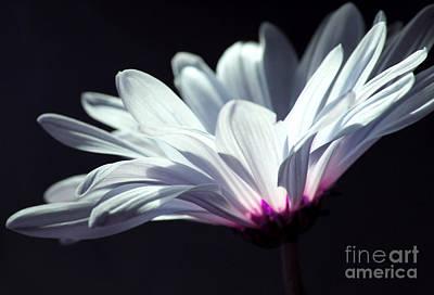 White Daisy Photograph - Light The Way by Krissy Katsimbras
