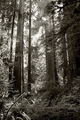 Light Through Redwoods Art Print