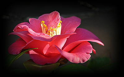 Photograph - Lighted Camellia by AJ Schibig