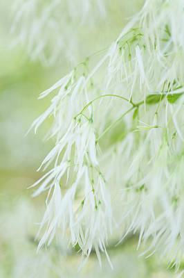 Photograph - Lightness Of White Fringetree by Jenny Rainbow